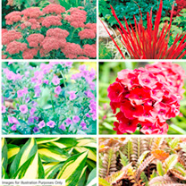 Perennial Plants - Assorted Collection