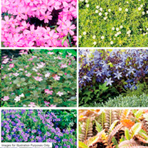 Perennial Plants - Ground Cover Collection