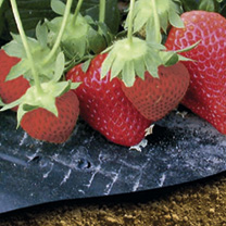 Strawberry Mulch Film - PICK and MIX