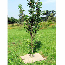 Protect fruit and veg from muddy splashes, deter slugs, suppresses weeds and retains moisture. Each mat is approximately 50cm (20) x 50cm (20).