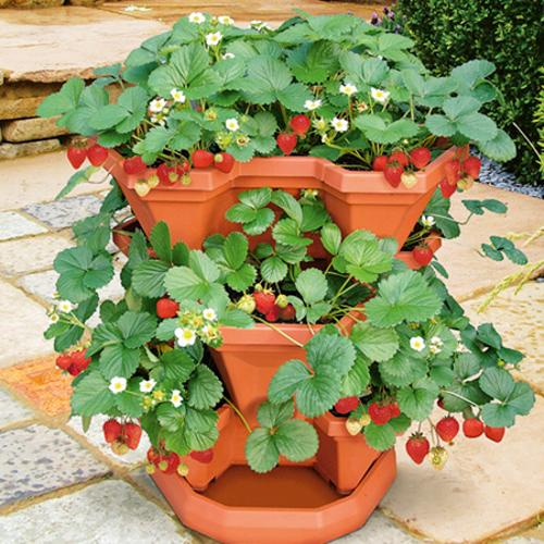 Patio Strawberry Kit and Strawberry Seeds