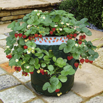 Strawberry Plants & Planter OFFER