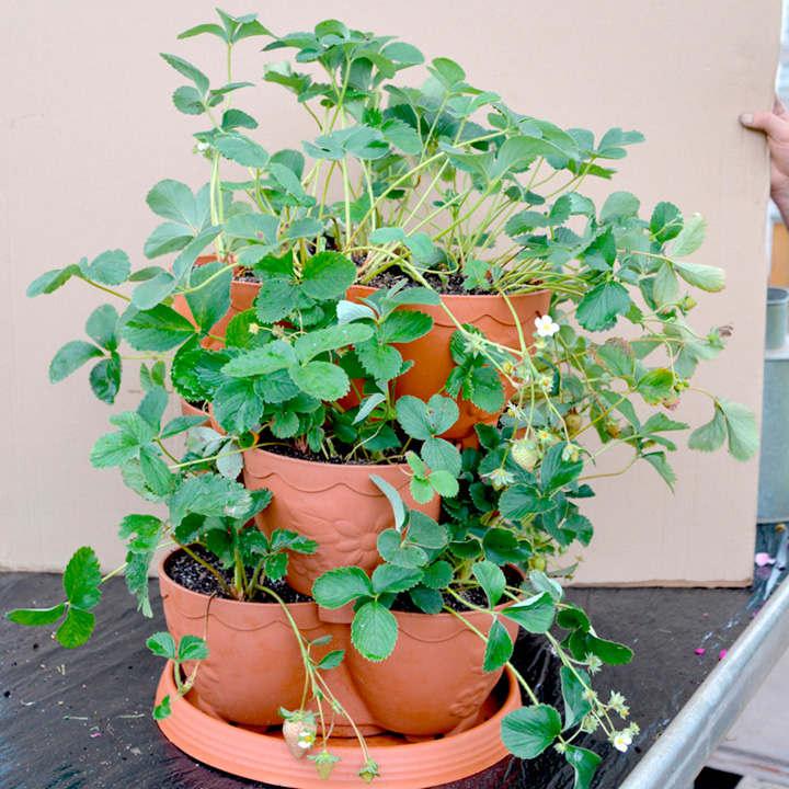 Strawberry Planter + Plants