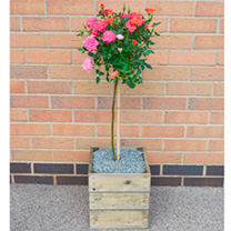 Crate Kit - Rose Mini-Standard Plant, Square Crate LUCKY DIP