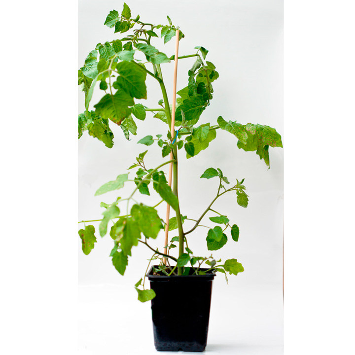 Vegetable Grafted Plants - Collection