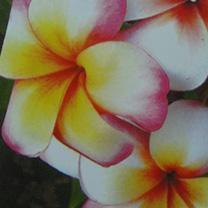 Plumeria Plant - Thumbelina