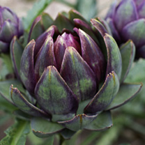 Perfect at the back of a perennial border or in the kitchen garden, this perennial plant produces abundant yields of tender and flavourful purple arti