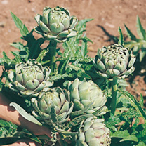 Artichoke Seeds  Green Globe