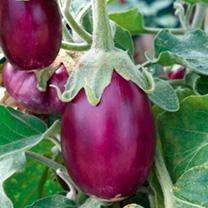 Aubergine Seeds - F1 Amethyst