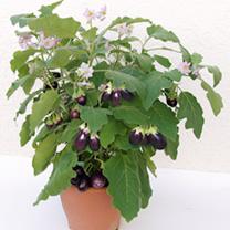 Aubergine Plant - F1 Ophelia