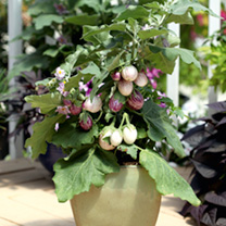 Fresh, tasty vegetables on your doorstep, growing delicious vegetables on your patio has never been easier. Ideal for pots or raised beds, this dwarf,