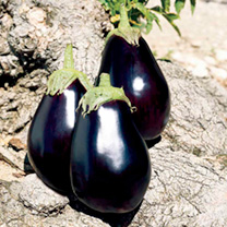 Aubergine Seeds - F1 Galine