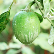 Compact, heavy-cropping plants, ideal for greenhouse container growing and requiring no support. Egg-sized, jade green fruit are popular in South East