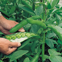 Excellent length of pod and table quality. A fine green seeded broad bean and also excellent for deep freezing. RHS Award of Garden Merit winner.