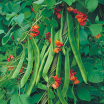 Bean (Runner) Seeds - Butler