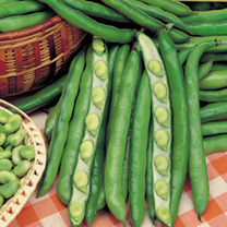 Bean (Broad) Plants - Masterpiece Green Longpod