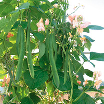 Bean (Runner) Seeds - Celebration