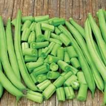 A good crop of stringless beans, round and of medium length. Early, and recommended for use fresh from the garden and for freezing. Recommended by the