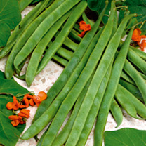 Bean (Runner) Seeds - Armstrong