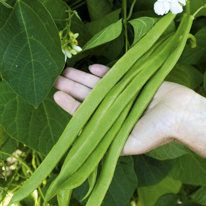 Bean (Runner) Plants - Moonlight