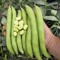 Bean Broad Bean Seeds Luz de Otono