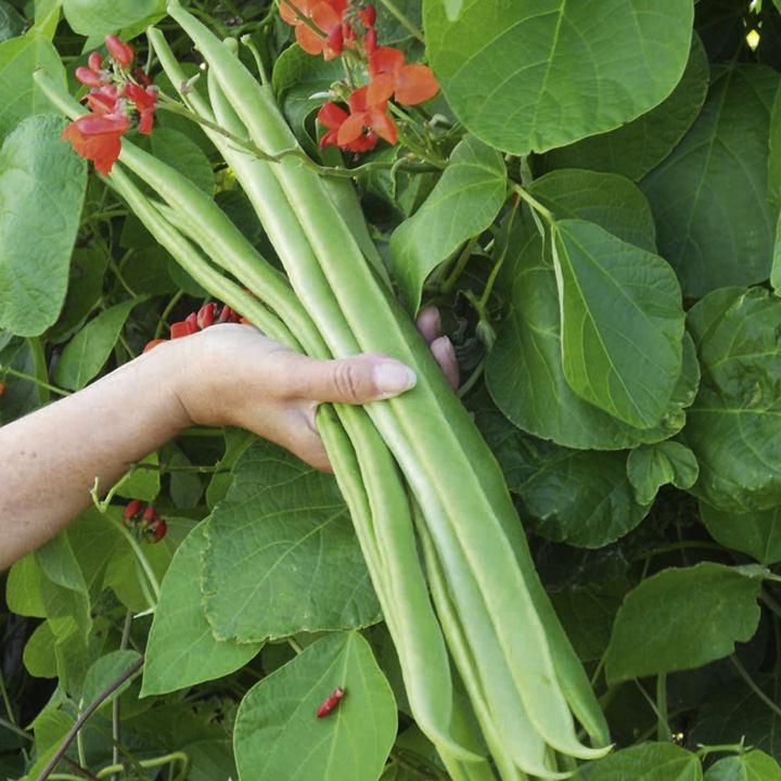 Bean (Runner) Seeds - Benchmaster