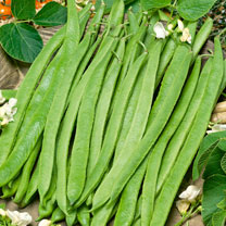 A heritage runner bean, for fresh young green pods or drying for butter beans perfect for soups and casseroles, and a good source of protein, iron, vi