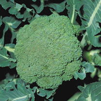Broccoli Seeds - F1 Parthenon