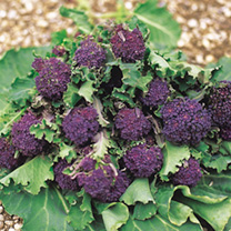 Broccoli (Sprouting) Seeds - Summer Purple