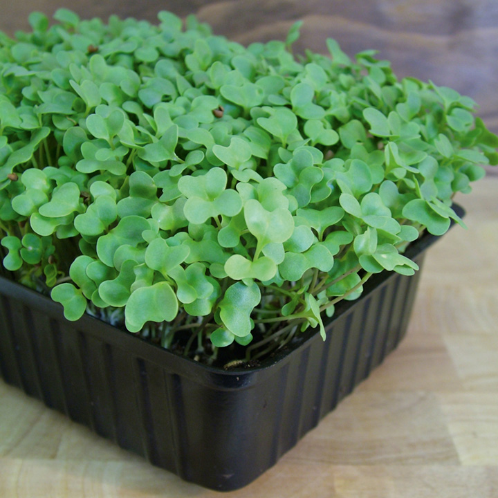 Radish Seeds Sprouting Sprouting Seed Microgreens
