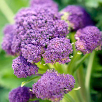 Broccoli Seeds - Early White Sprouting & Early Purple Sprouting