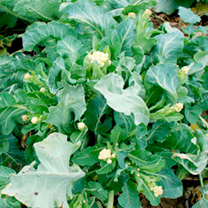Broccoli Seeds White Star