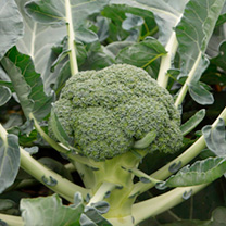 Broccoli Plants F1 Monclano