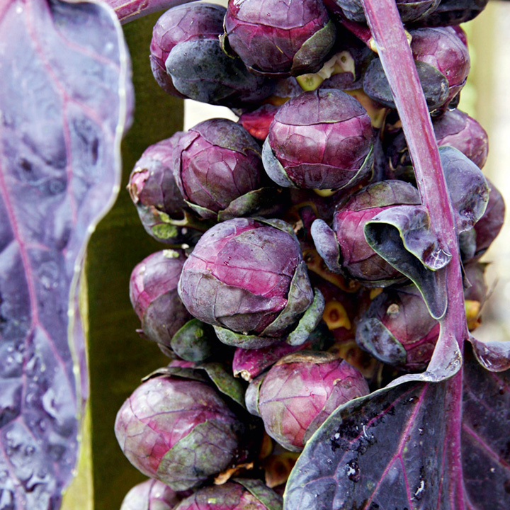 Brussels Sprouts Seeds - Bedford Fillbasket & Red Ball