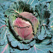 January King 3 is a hardy drumhead cabbage with matures from December. Easy to grow, it's perfect for steaming or stir fries.