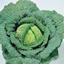 Ormskirk 1 is a classic, tasty Savoy cabbage producing medium-sized round heads. Very hardy, it's a favourite for use from Christmas.