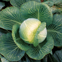 Cabbage Seeds - F1 Kilaxy