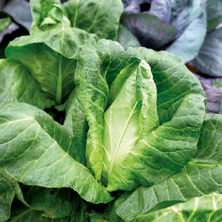Cabbage Seeds - F1 Hispi