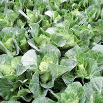Produces evenly sized, smooth, dark leaved greens as a spring green or, if allowed to heart, will eventually form compact 250g (8oz) loose heads. Supe