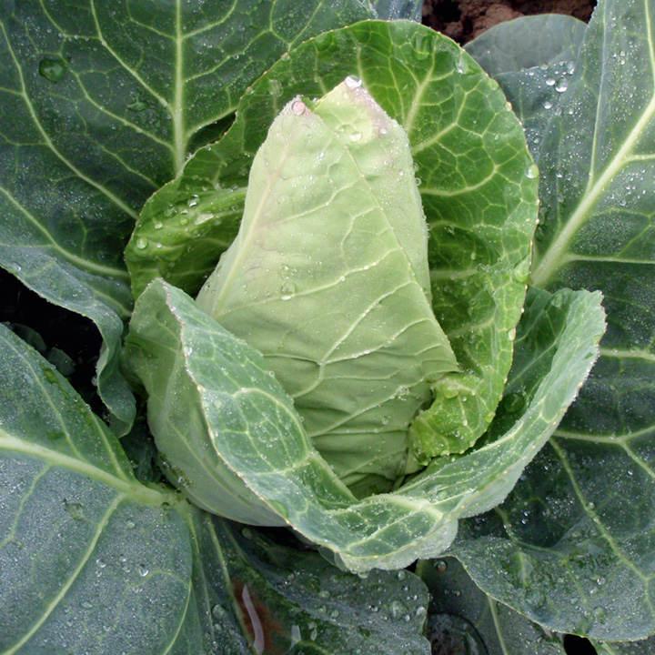 Cabbage Seeds - F1 Dutchman