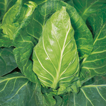 A favourite early cabbage, with pointed heads of excellent flavour. Sow under glass early February, or in succession outdoors March-July. Summer/Autum