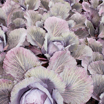 Cabbage Seeds - F1 Lodero