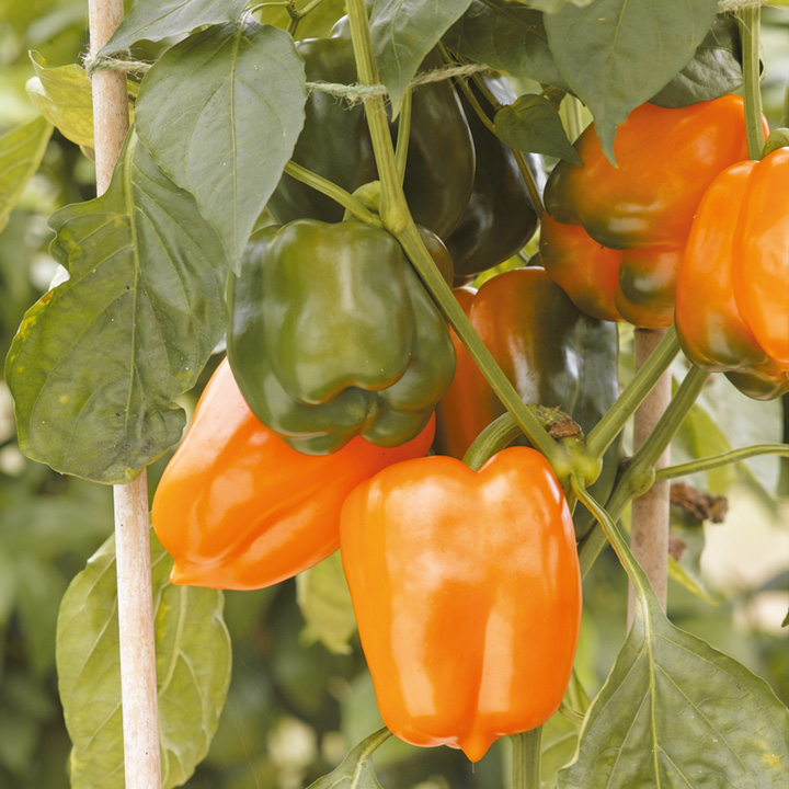Pepper Seeds - Gourmet