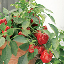 A dwarf pepper producing good yields of medium-sized exceptionally sweet-flavoured red fruits. You don't have to have a large vegetable garden to grow