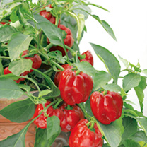 Pepper Seeds - F1 Patio Red & Orange