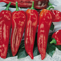 Pepper (Sweet) Grafted Plants - Thor