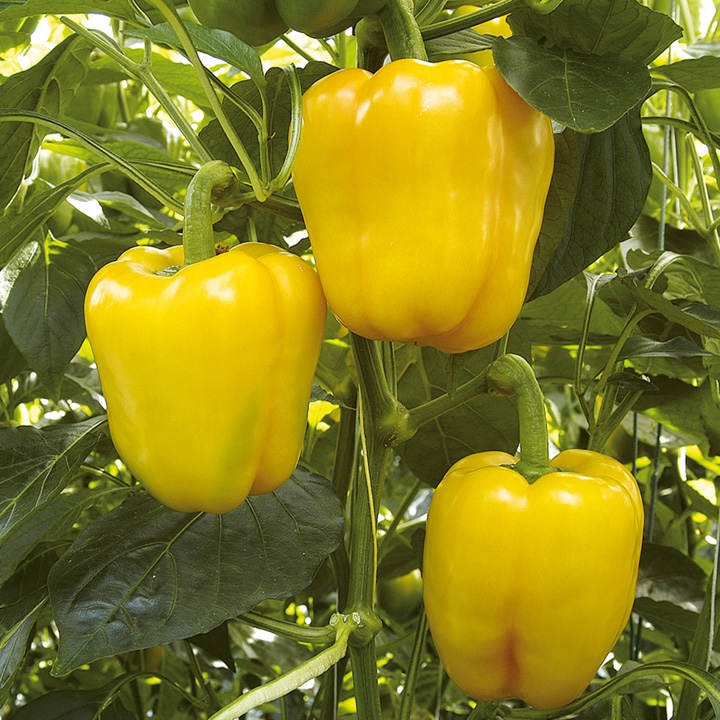 Pepper Grafted Plants - F1 Chelsea