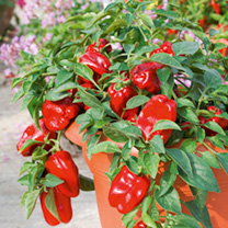 Pepper (Sweet) Plant - F1 Redskin