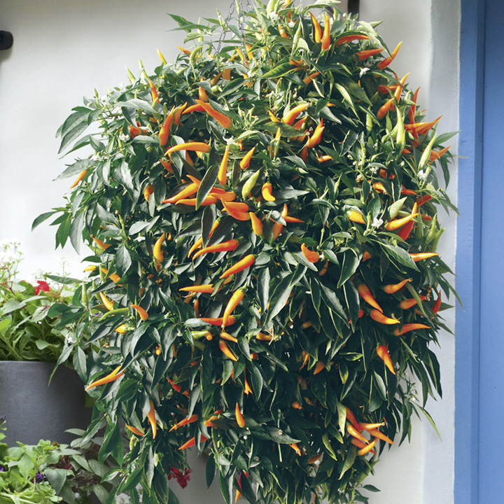 Pepper Plants - Sweet Sunshine
