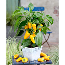Pepper Windowsill Plant - Pillar Yellow
